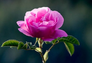 652x450_069262-trandafirul-de-damasc