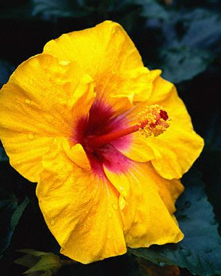 Yellow Hibiscus --- Image by © Image Plan/Corbis